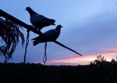 Palombes au coucher de soleil Séjour chasse